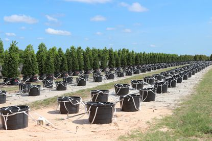 Containers waiting to be planted with baby trees at Cherry Lake Tree Farm