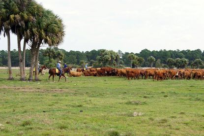 Pasco cattle ranchers pay $18.5M for 7,050-acre 4H Ranch in Osceola County